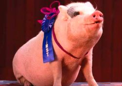Prize Hog